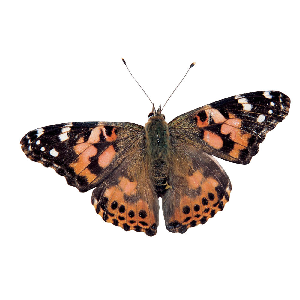 Butterfly Kit - Living Things and Habitats - Science ...